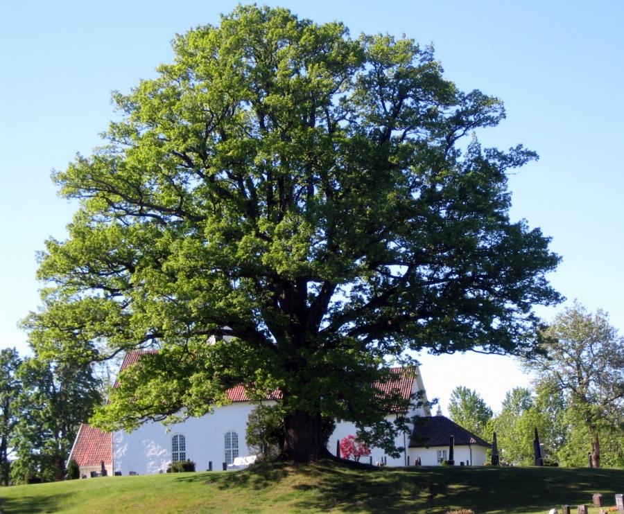 Hof kirke  med den gamle eika; fredet naturminne